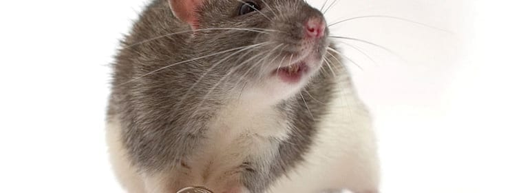 Rats_news