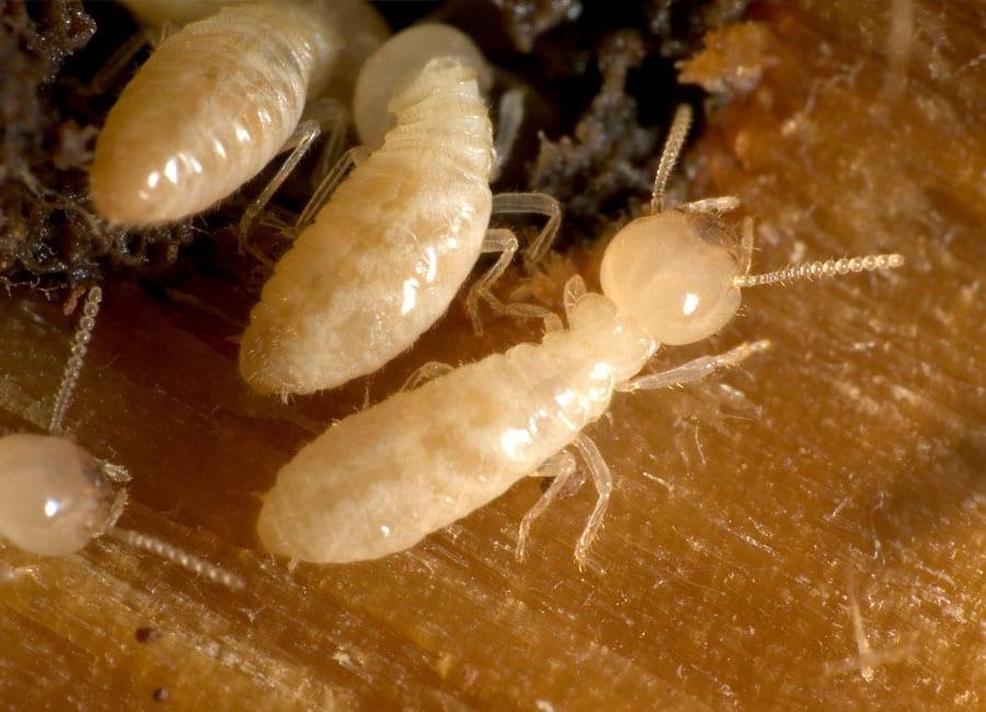 Termites Faqs