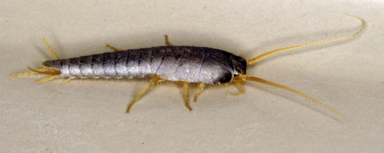 Knockout-Pest-control-Silverfish-1