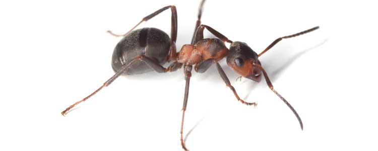 Knockout-Pests-Ants_3