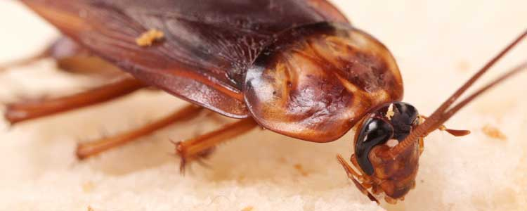 Knockout-Pests-Cockroaches-3