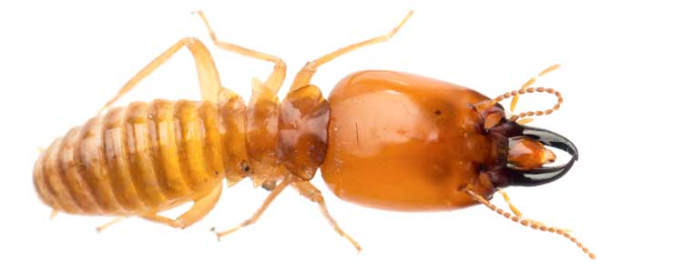 Knockout-Pests-termites-faqs-3