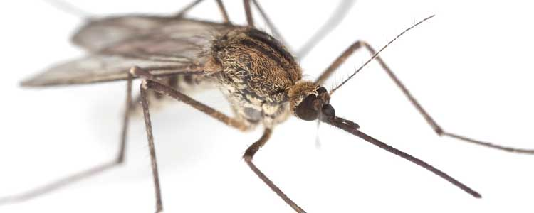 Knockout-first-signs-of-Mosquitoes-Midges