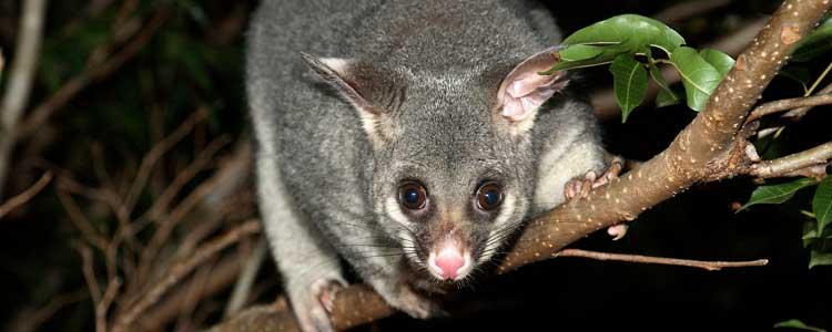 Knockout-pests-First-signs-of-possum