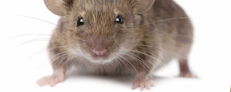 Knockout-pests-First-signs-of-rodents-mice-1