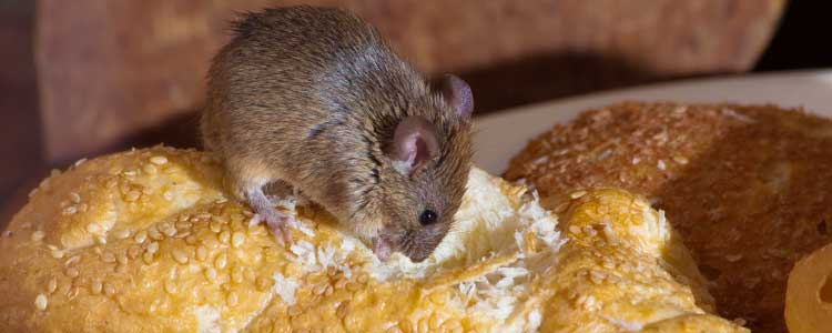Knockout-pests-First-signs-of-rodents-mice-2