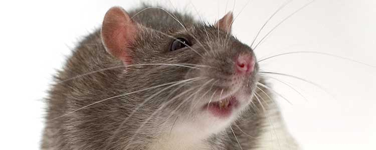 Knockout-pests-First-signs-of-rodents-rats-2