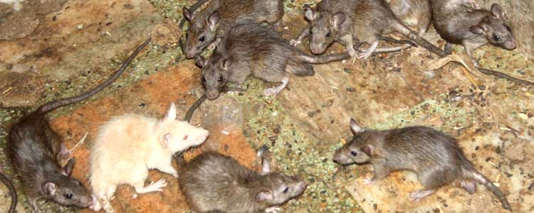 Knockout-pests-First-signs-of-rodents-rats-3