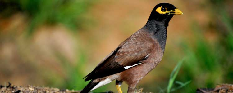 Knockout-pests-birds-myna-1