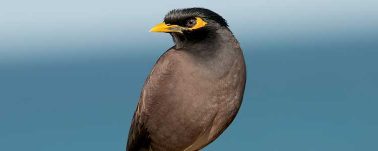 Knockout-pests-birds-myna-2