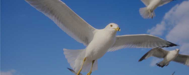 Knockout-pests-birds-seagull-1