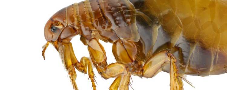 Knockout-pests-fleas-2