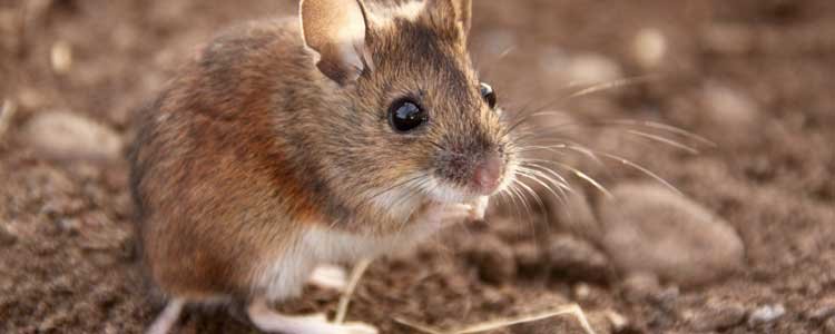 Knockout-pests-rodents-mice-3