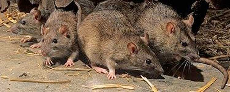Knockout-pests-rodents-rats-4