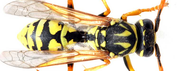 Knockout-pests-wasp-1