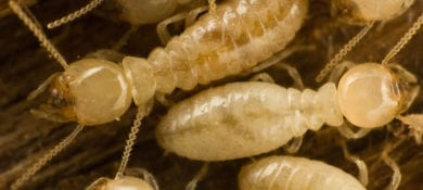 Knockour-pest-control-termites-1