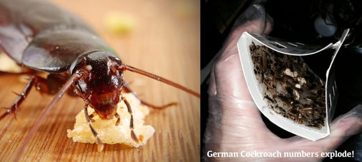 German Cockroach numbers explode!