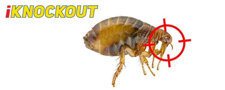 Knockout-pest-control-IKnockout-Pests-Get-Rid-of-fleas-2